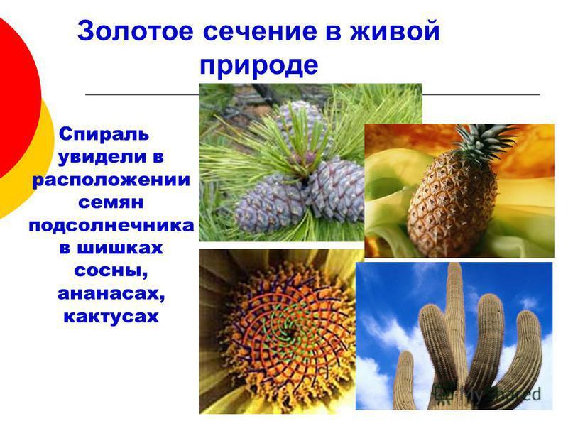 Золотое сечение в живой природе Спираль увидели в расположении семян подсолнечника в шишках сосны, ананасах, кактусах