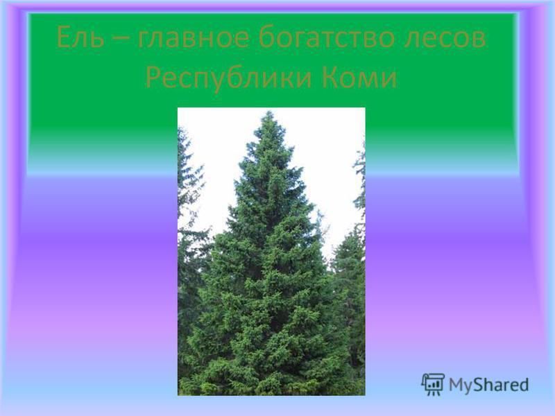 Ель – главное богатство лесов Республики Коми