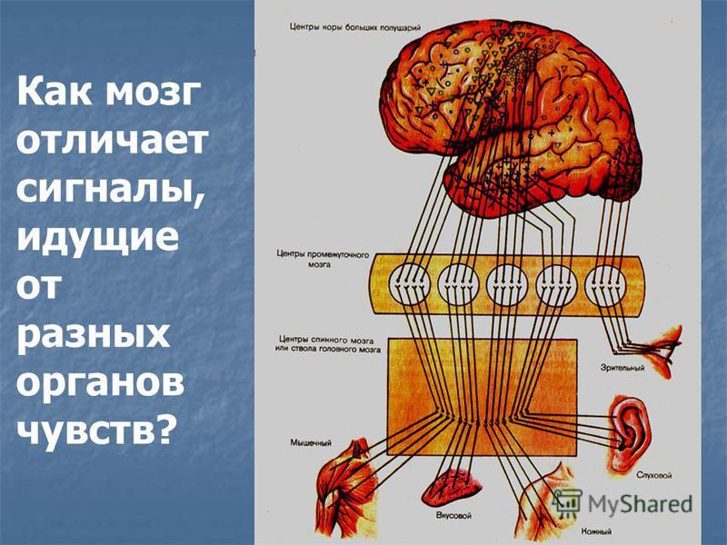 Как мозг отличает сигналы, идущие от разных органов чувств?