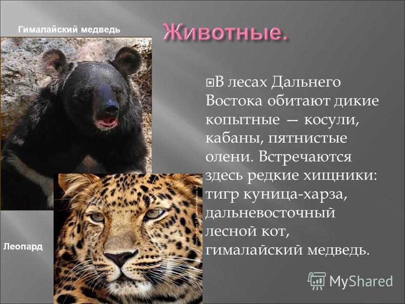 В лесах Дальнего Востока обитают дикие копытные косули, кабаны, пятнистые олени. Встречаются здесь редкие хищники: тигр куница-харза, дальневосточный лесной кот, гималайский медведь. Леопард Гималайский медведь