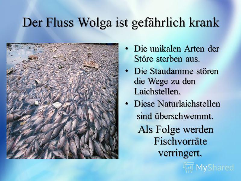 Der Fluss Wolga ist gefährlich krank Die unikalen Arten der Störe sterben aus. Die unikalen Arten der Störe sterben aus. Die Staudamme stören die Wege zu den Laichstellen. Die Staudamme stören die Wege zu den Laichstellen. Diese Naturlaichstellen Die