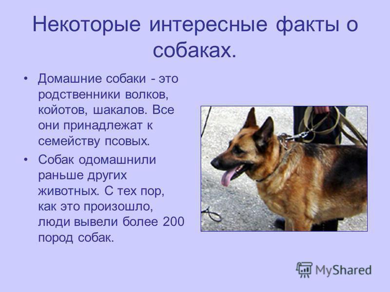 Некоторые интересные факты о собаках. Домашние собаки - это родственники волков, койотов, шакалов. Все они принадлежат к семейству псовых. Собак одомашнили раньше других животных. С тех пор, как это произошло, люди вывели более 200 пород собак.