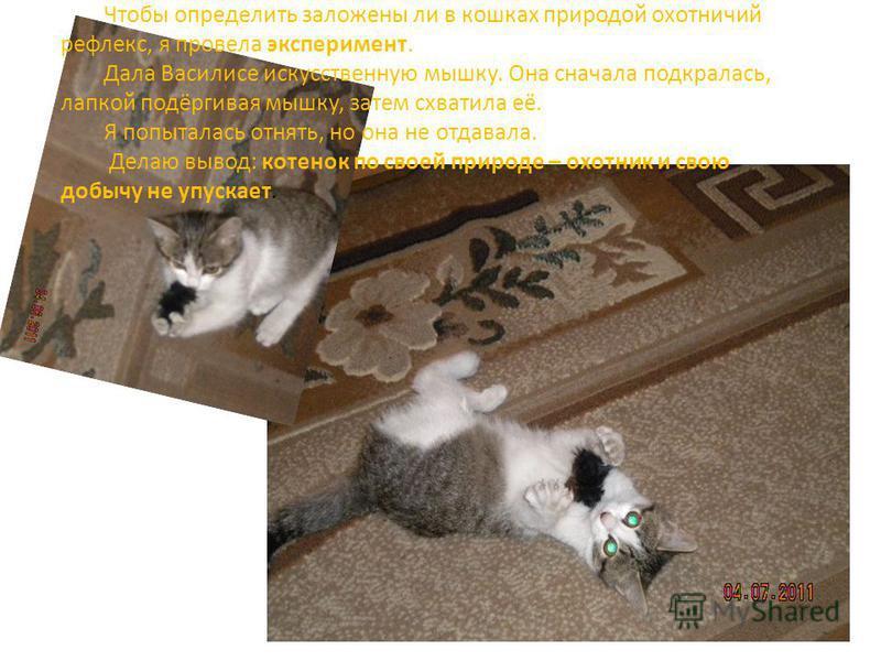 Чтобы определить заложены ли в кошках природой охотничий рефлекс, я провела эксперимент. Дала Василисе искусственную мышку. Она сначала подкралась, лапкой подёргивая мышку, затем схватила её. Я попыталась отнять, но она не отдавала. Делаю вывод: коте