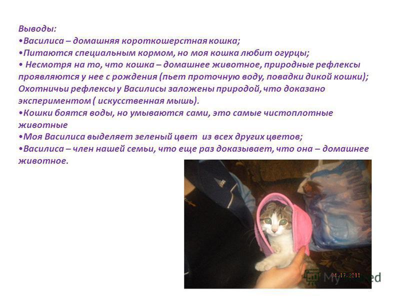 Выводы: Василиса – домашняя короткошерстная кошка; Питаются специальным кормом, но моя кошка любит огурцы; Несмотря на то, что кошка – домашнее животное, природные рефлексы проявляются у нее с рождения (пьет проточную воду, повадки дикой кошки); Охот
