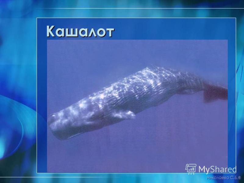 Кашалот Николаева С.Б. ®