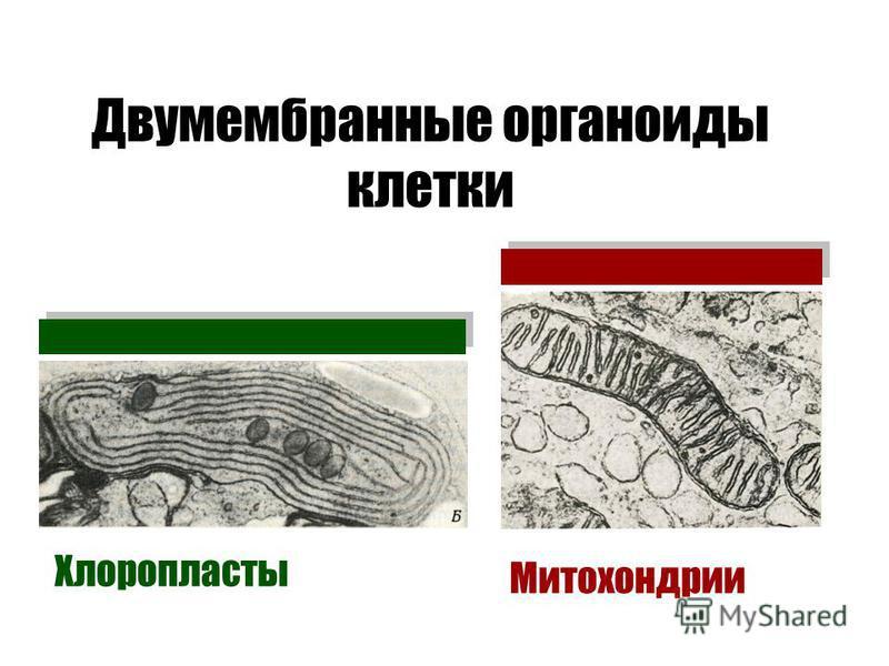 Двумембранные органоиды клетки Хлоропласты Митохондрии