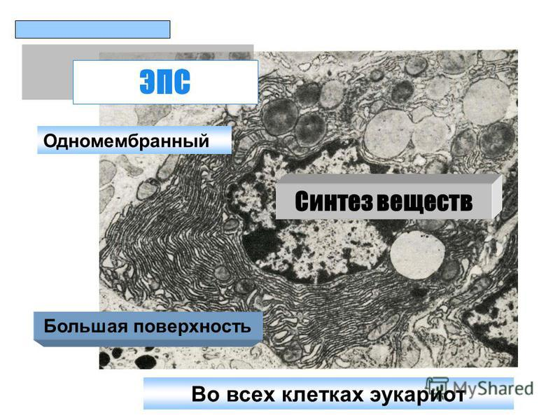 ЭПС Одномембранный Большая поверхность Синтез веществ Во всех клетках эукариот