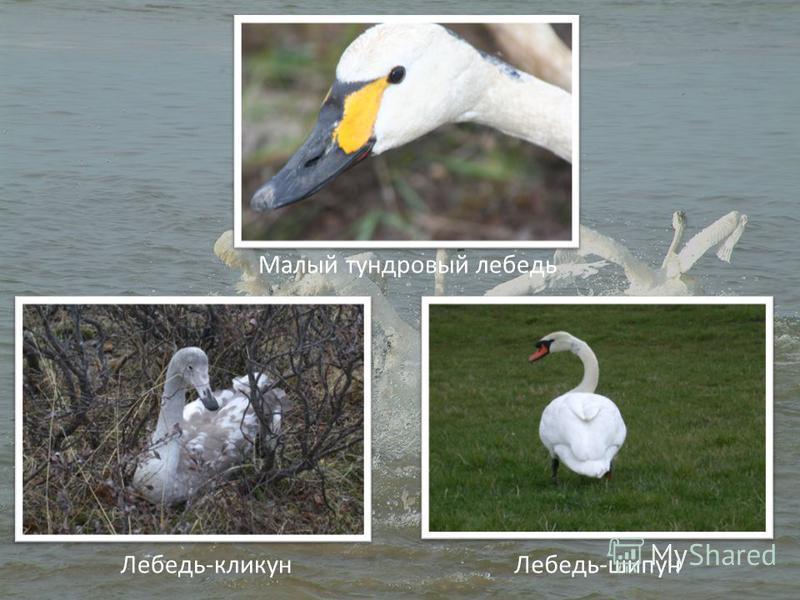 Малый тундровый лебедь Лебедь-кликун Лебедь-шипун