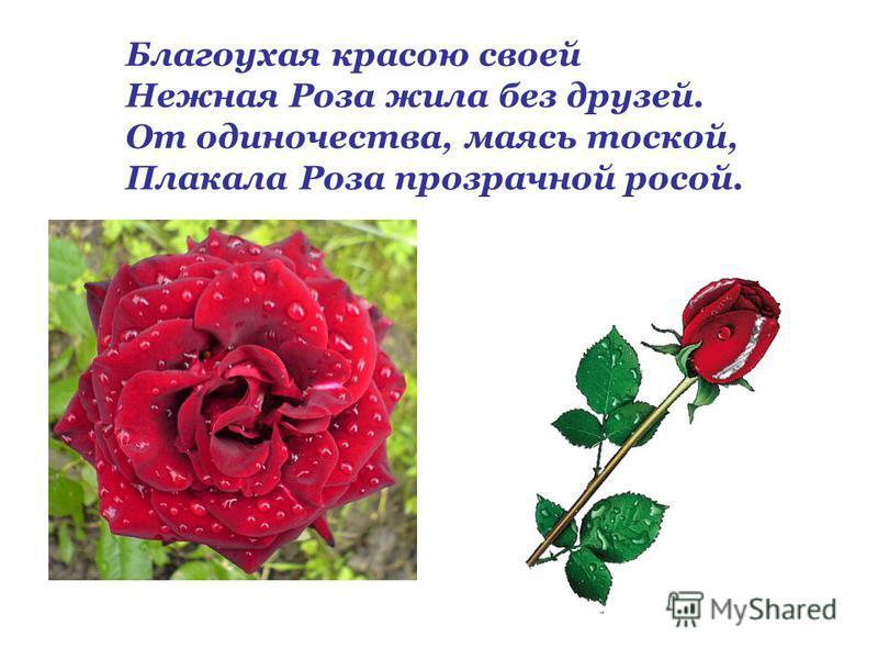 Благоухая красою своей Нежная Роза жила без друзей. От одиночества, маясь тоской, Плакала Роза прозрачной росой.
