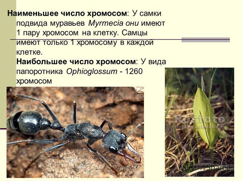 14 Наименьшее число хромосом: У самки подвида муравьев Myrmecia они имеют 1 пару хромосом на клетку. Самцы имеют только 1 хромосому в каждой клетке. Наибольшее число хромосом: У вида папоротника Ophioglossum - 1260 хромосом