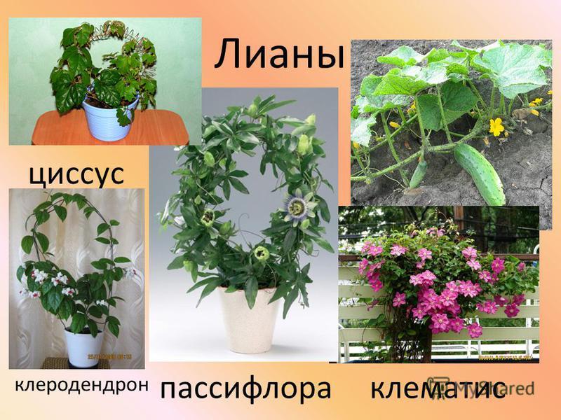 Лианы клематис пассифлора циссус клеродендрон