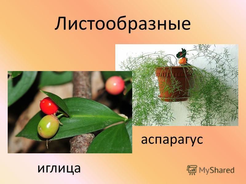 Листообразные аспарагус иглица
