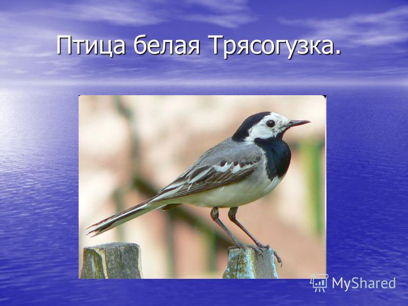 Птица белая Трясогузка. Птица белая Трясогузка.