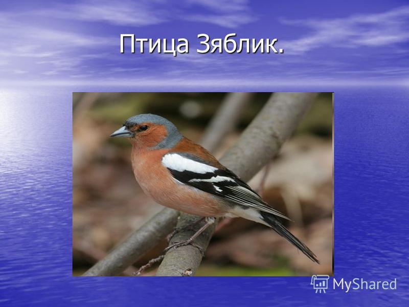 Птица Зяблик. Птица Зяблик.