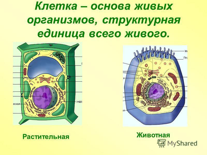 Клетка – основа живых организмов, структурная единица всего живого. Растительная Животная
