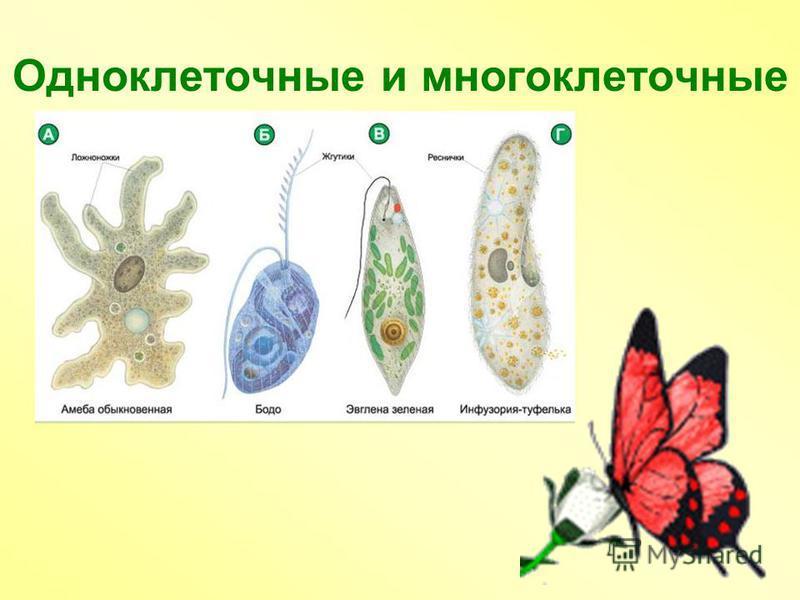 Одноклеточные и многоклеточные