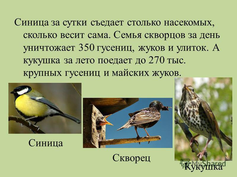 Синица за сутки съедает столько насекомых, сколько весит сама. Семья скворцов за день уничтожает 350 гусениц, жуков и улиток. А кукушка за лето поедает до 270 тыс. крупных гусениц и майских жуков. Синица Скворец Кукушка
