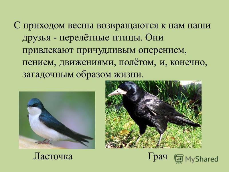 С приходом весны возвращаются к нам наши друзья - перелётные птицы. Они привлекают причудливым оперением, пением, движениями, полётом, и, конечно, загадочным образом жизни. Ласточка Грач