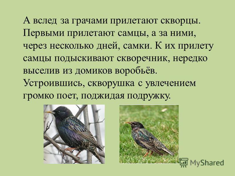 А вслед за грачами прилетают скворцы. Первыми прилетают самцы, а за ними, через несколько дней, самки. К их прилету самцы подыскивают скворечник, нередко выселив из домиков воробьёв. Устроившись, скворушка с увлечением громко поет, поджидая подружку.