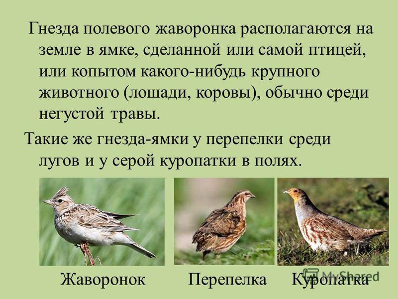Гнезда полевого жаворонка располагаются на земле в ямке, сделанной или самой птицей, или копытом какого - нибудь крупного животного ( лошади, коровы ), обычно среди негустой травы. Такие же гнезда - ямки у перепелки среди лугов и у серой куропатки в