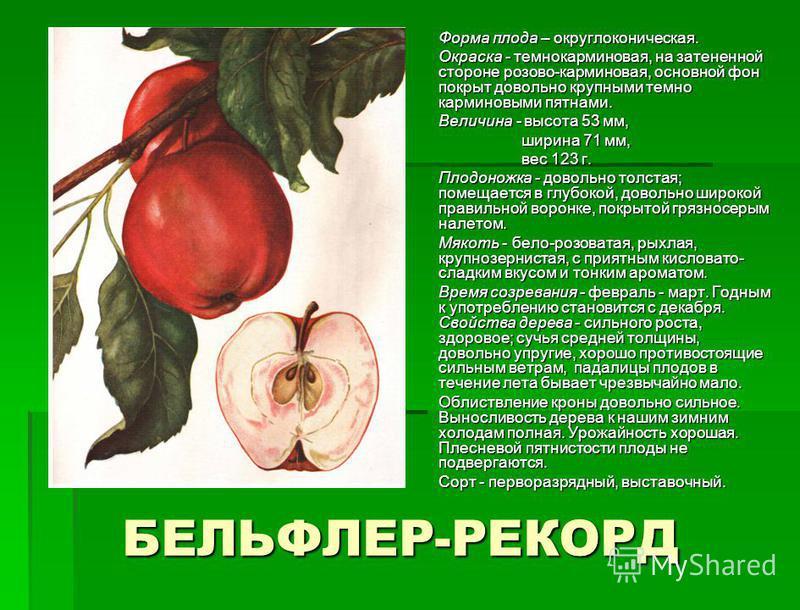 БЕЛЬФЛЕР-РЕКОРД Формa плода – круглоконическая. Формa плода – круглоконическая. Окpacкa - темнокарминовая, на затененной стороне розово-карминовая, основной фон покрыт довольно крупными темно карминовыми пятнами. Окpacкa - темнокарминовая, на затенен