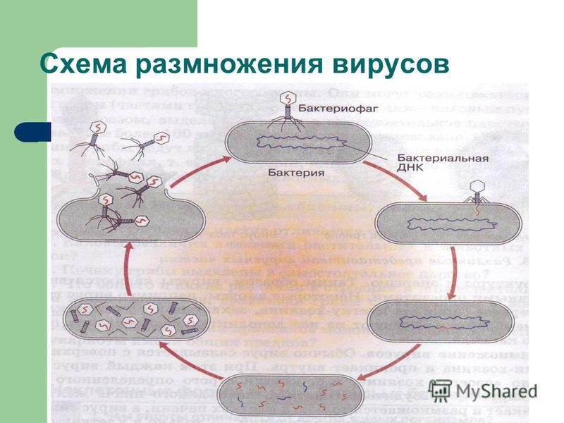 Схема размножения вирусов