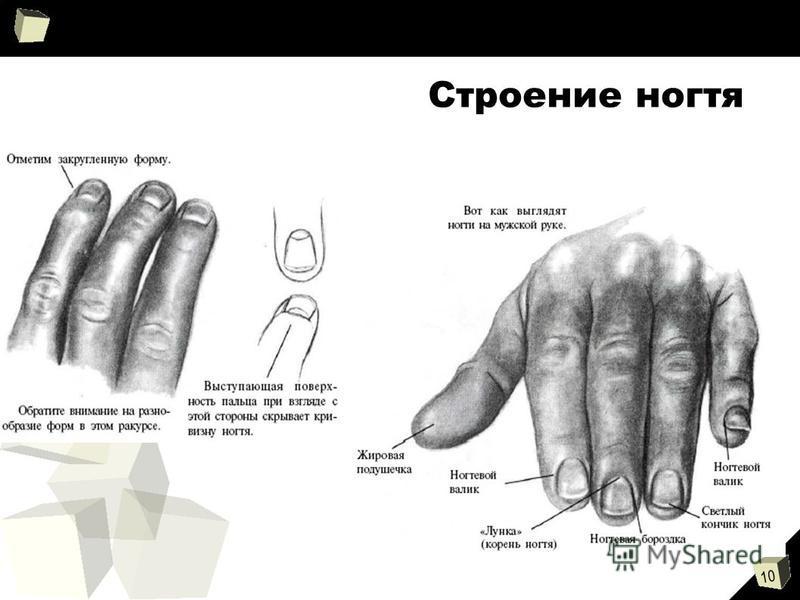 10 Строение ногтя