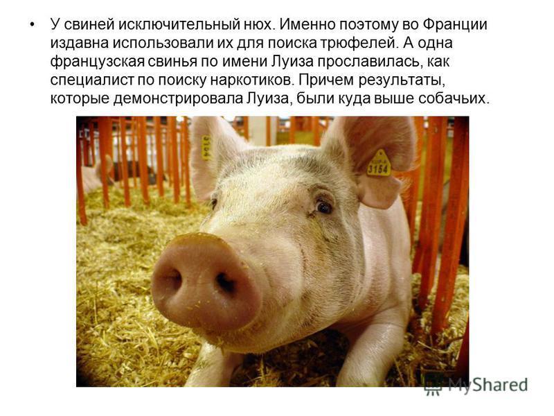У свиней исключительный нюх. Именно поэтому во Франции издавна использовали их для поиска трюфелей. А одна французская свинья по имени Луиза прославилась, как специалист по поиску наркотиков. Причем результаты, которые демонстрировала Луиза, были куд