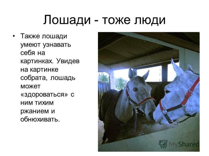 Лошади - тоже люди Также лошади умеют узнавать себя на картинках. Увидев на картинке собрата, лошадь может «здороваться» с ним тихим ржанием и обнюхивать.