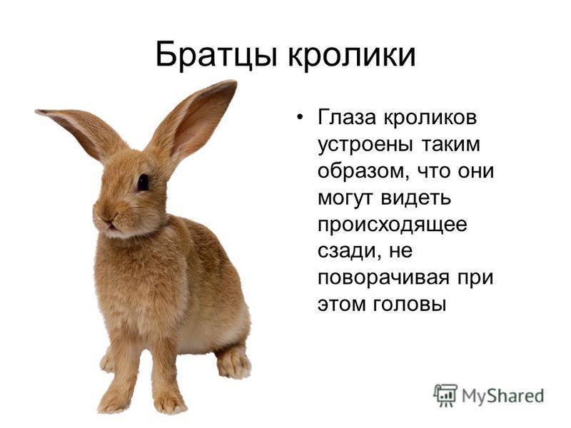 Братцы кролики Глаза кроликов устроены таким образом, что они могут видеть происходящее сзади, не поворачивая при этом головы