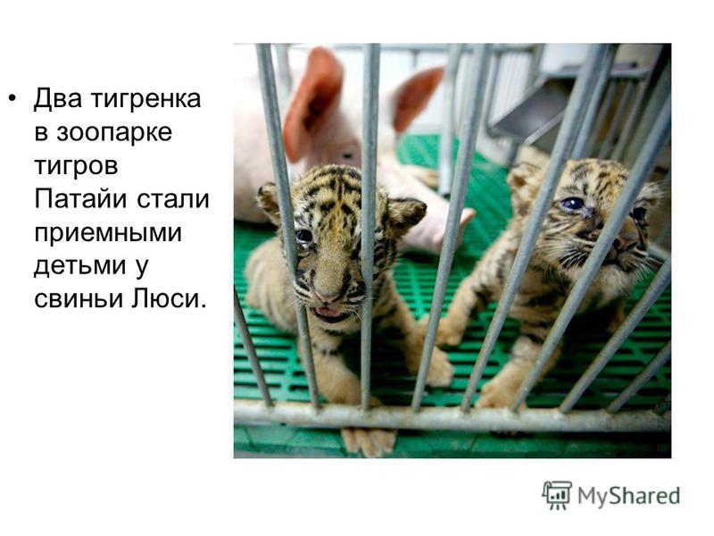Два тигренка в зоопарке тигров Патайи стали приемными детьми у свиньи Люси.