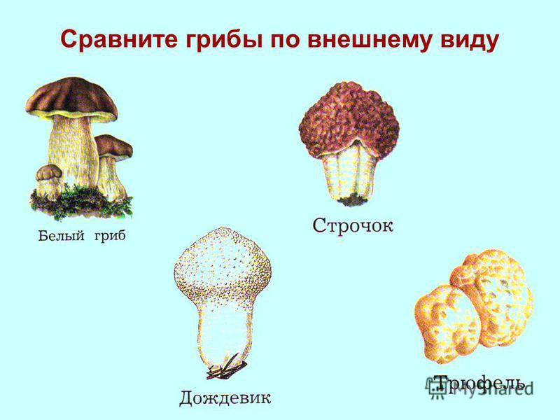 Сравните грибы по внешнему виду