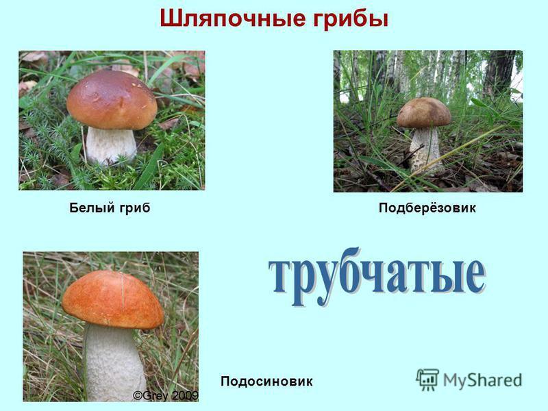 Шляпочные грибы Белый гриб Подберёзовик Подосиновик