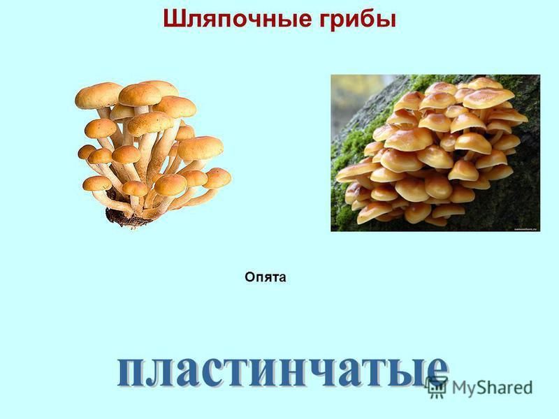 Шляпочные грибы Опята