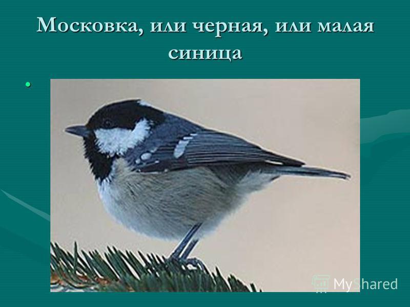 Московка, или черная, или малая синица