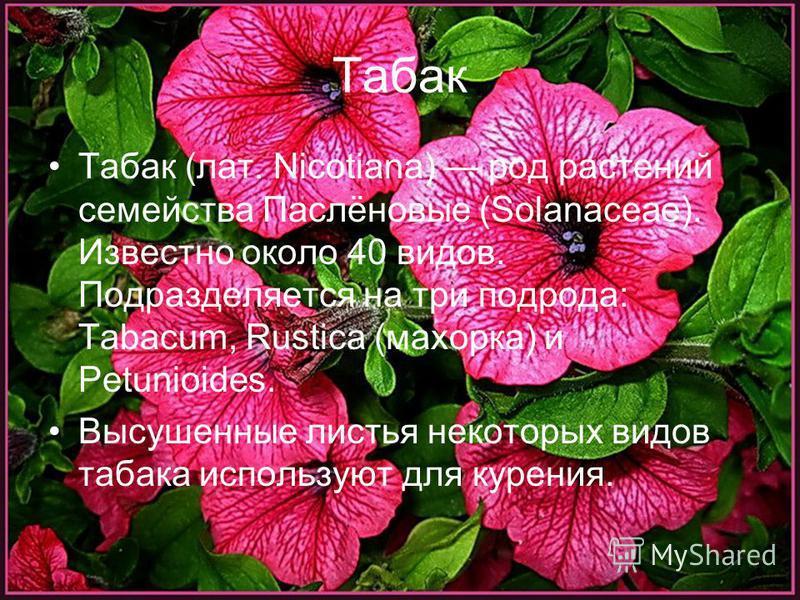 Табак Табак (лат. Nicotiana) род растений семейства Паслёновые (Solanaceae). Известно около 40 видов. Подразделяется на три подрода: Tabacum, Rustica (махорка) и Petunioides. Высушенные листья некоторых видов табака используют для курения.