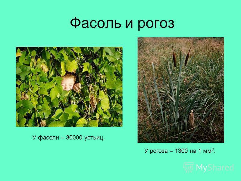 Фасоль и рогоз У рогоза – 1300 на 1 мм 2. У фасоли – 30000 устьиц.