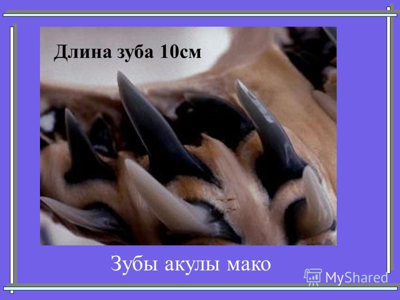 Длина зуба 10 см Зубы акулы мако