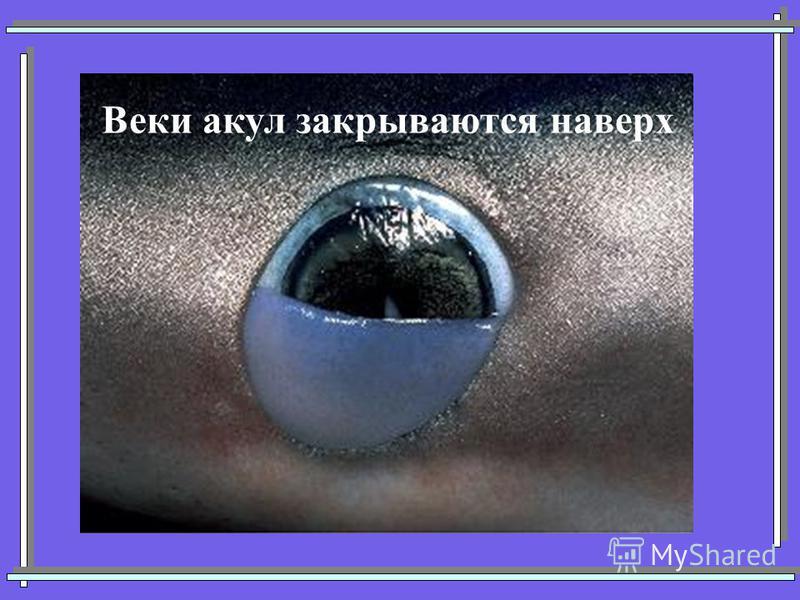 Веки акул закрываются наверх