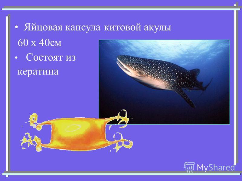Яйцовая капсула китовой акулы 60 х 40 см Состоят из кератина