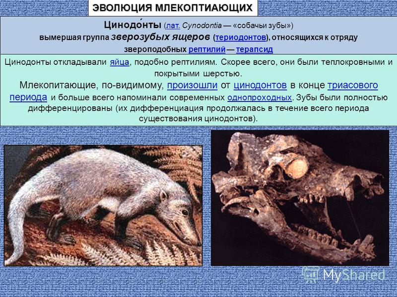 Цинодо́ноты (лат. Cynodontia «собачьи зубы»)лат. вымершая группа зверозубых ящеров (териодонтов), относящихся к отрядутериодонтов звероподобных рептилий терапсидрептилийтерапсид Цинодоноты откладывали яйца, подобно рептилиям. Скорее всего, они были т