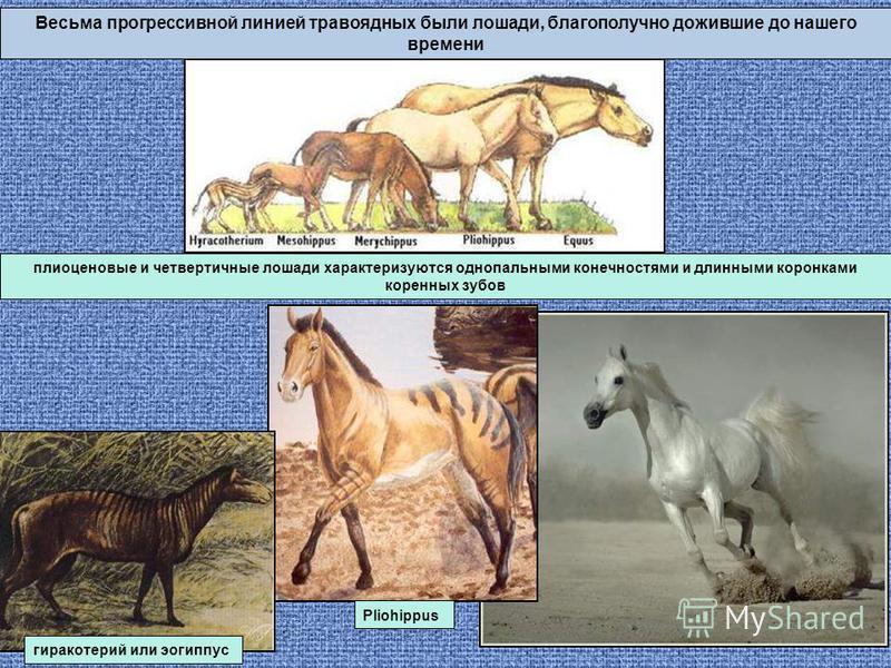 Весьма прогрессивной линией травоядных были лошади, благополучно дожившие до нашего времени плиоценовые и четвертичные лошади характеризуются однопольными конечностями и длинными коронками коренных зубов Pliohippus гиракотерий или эогиппус