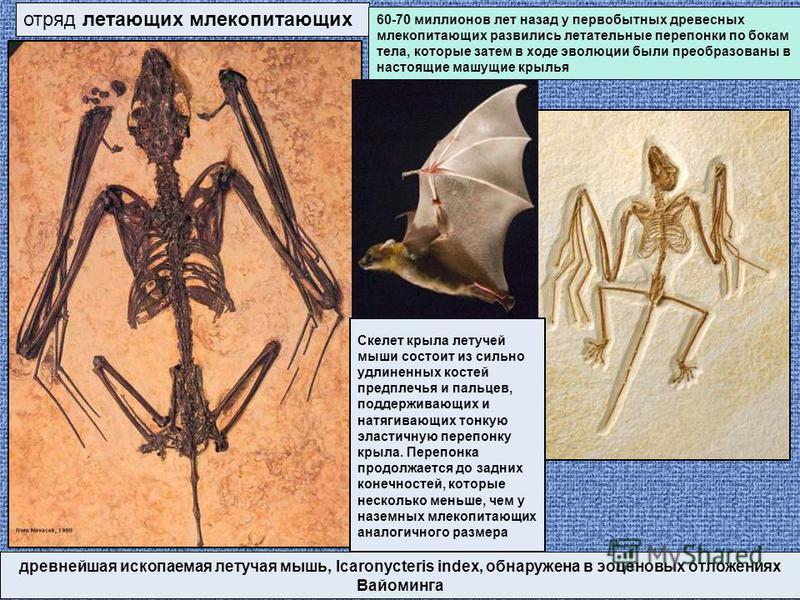 отряд летающих млекопитающих древнейшая ископаемая летучая мышь, Icaronycteris index, обнаружена в эоценовых отложениях Вайоминга 60-70 миллионов лет назад у первобытных древесных млекопитающих развились летательные перепонки по бокам тела, которые з
