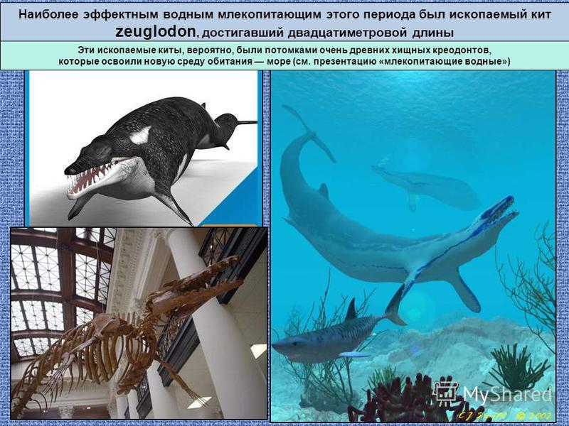 Наиболее эффектным водным млекопитающим этого периода был ископаемый кит zeuglodon, достигавший двадцатиметровой длины Эти ископаемые киты, вероятно, были потомками очень древних хищных креодонтов, которые освоили новую среду обитания море (см. презе