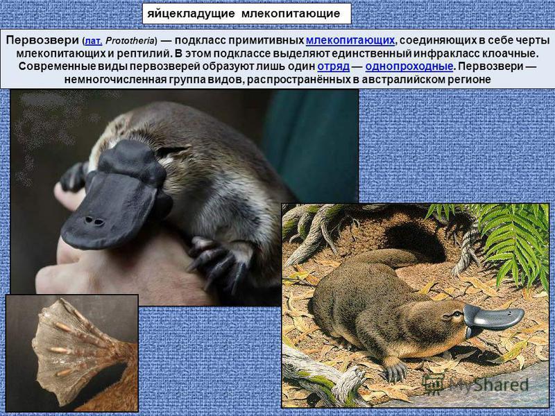 Первозвери (лат. Prototheria) подкласс примитивных млекопитающих, соединяющих в себе черты млекопитающих и рептилий. В этом подклассе выделяют единственный инфракласс клоачные. Современные виды первозверей образуют лишь один отряд однопроходные. Перв