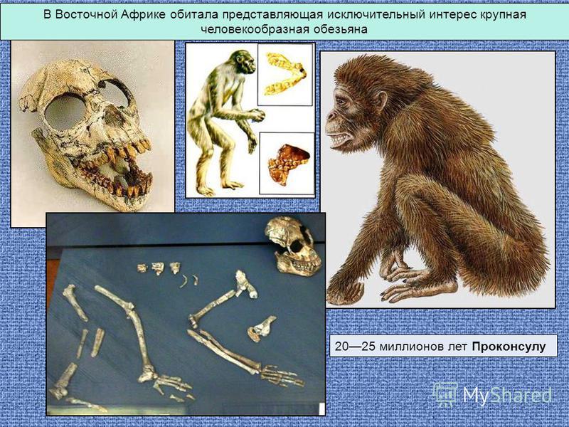 В Восточной Африке обитала представляющая исключительный интерес крупная человекообразная обезьяна 2025 миллионов лет Проконсулу