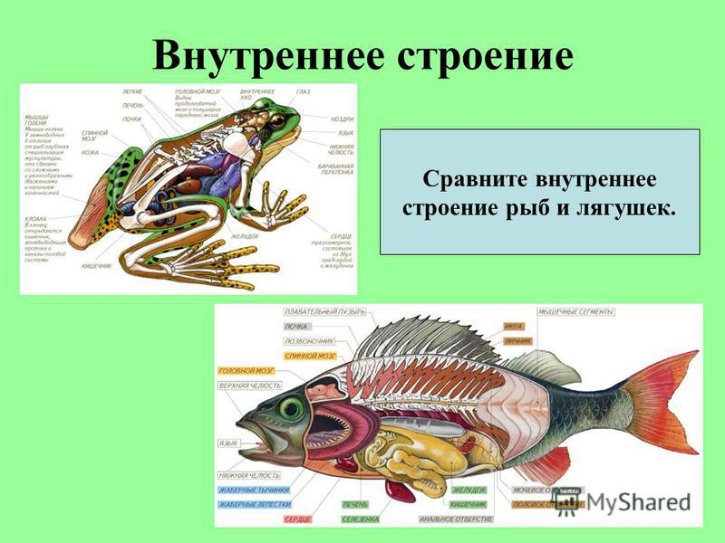 Внутреннее строение Сравните внутреннее строение рыб и лягушек.