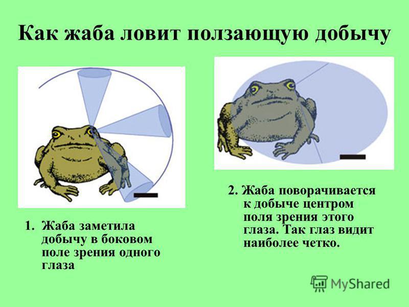 Как жаба ловит ползающую добычу 1. Жаба заметила добычу в боковом поле зрения одного глаза 2. Жаба поворачивается к добыче центром поля зрения этого глаза. Так глаз видит наиболее четко.
