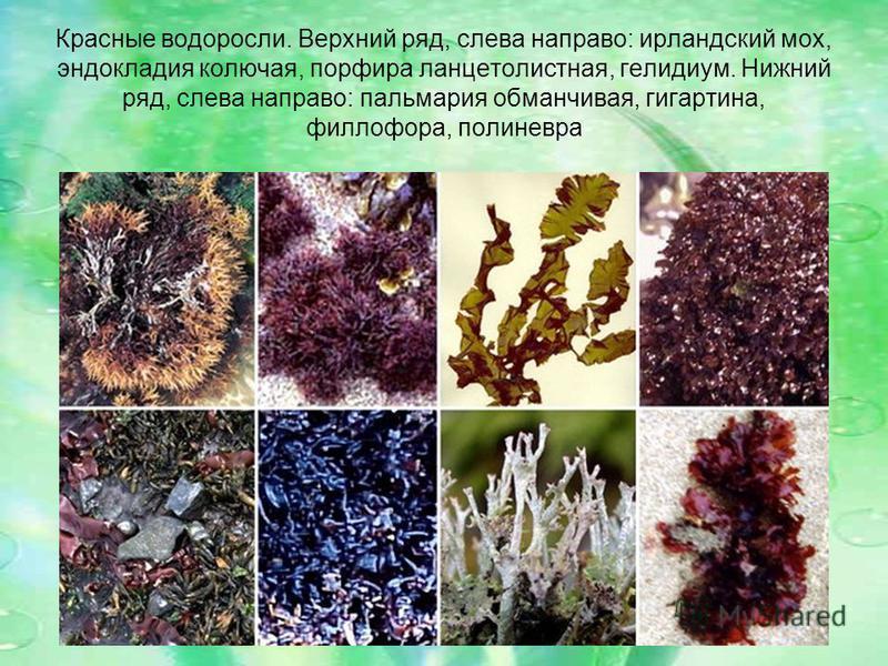 Красные водоросли. Верхний ряд, слева направо: ирландский мох, эндокладия колючая, порфира ланцетолистная, гелидиум. Нижний ряд, слева направо: пальмария обманчивая, гигартина, филлофора, полиневра