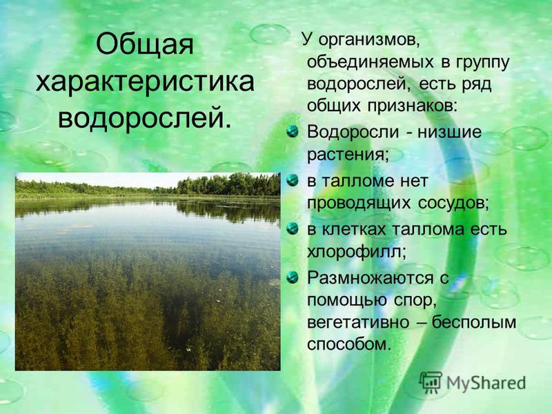 Общая характеристика водорослей. У организмов, объединяемых в группу водорослей, есть ряд общих признаков: Водоросли - низшие растения; в талломе нет проводящих сосудов; в клетках таллома есть хлорофилл; Размножаются с помощью спор, вегетативно – бес
